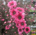 Tamarisk by 4 pink