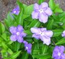 ニオイバンマツリ seedlings
