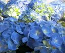 Hydrangea sky (Memambetsu) No. 5 bowls
