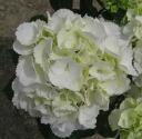 Hydrangea white sugar-5 seedlings
