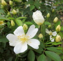 One fold of Rosa Banksiae white coming out long seedling made by