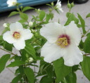 Fragrant mock Orange belletire No. 6 * review and