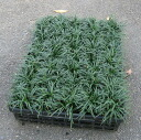 Jade Dragon (Ophiopogon japonicus) seedlings 1 case (40 pot)