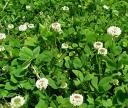 Sale 흰 클로버 씨앗 500g