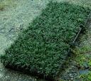 Jade Dragon (Ophiopogon japonicus) seedlings 2 cases (40 pot x2 = 80 pot)