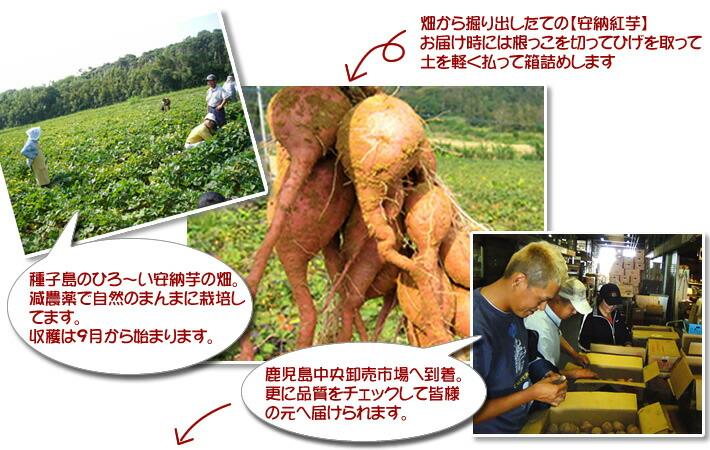 種子島の広い畑で減農薬で自然のままに育てられ鹿児島中央卸売市場へ
