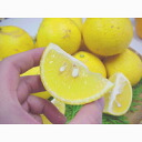 ★ Yellow kumquat (おうごんかん) your home and about 1. 4 kg ★ complete your pre-order items