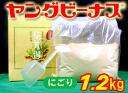 Young Venus tabino Yu (tokuyo 1.2 kg)