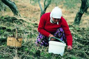 手で一つ一つオリーブを集める女性
