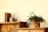 リプサリス木製