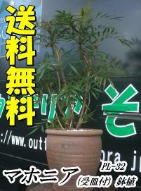 マホニア鉢植え