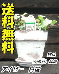 アイビー白斑鉢植え