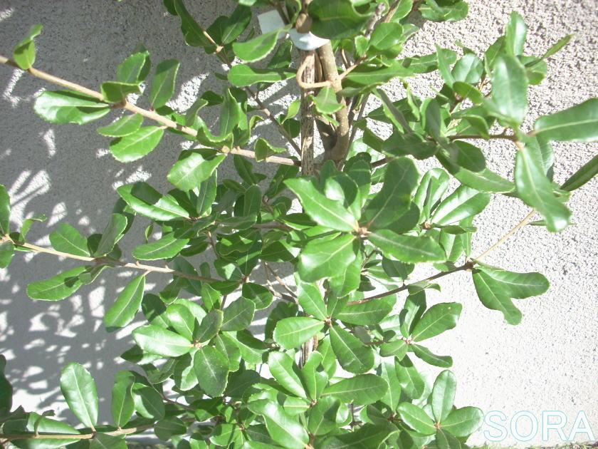 ウバメガシ 葉