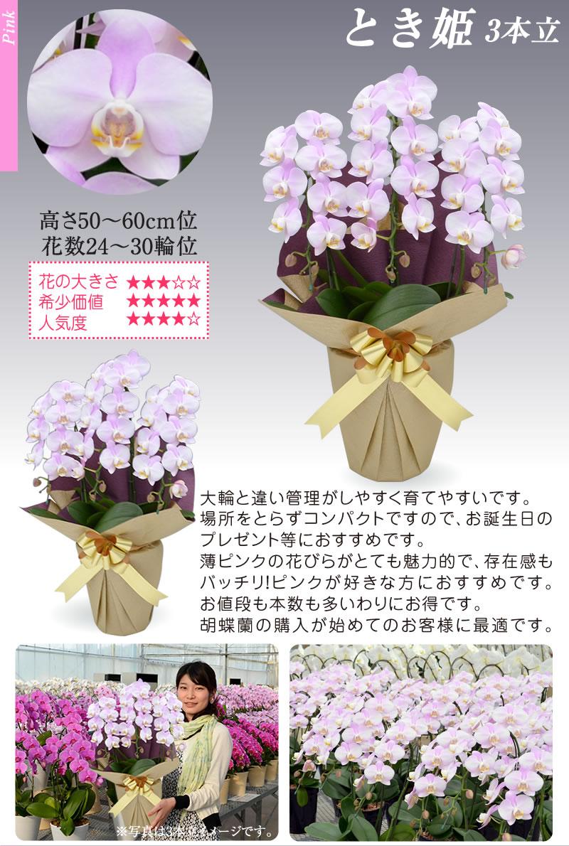 胡蝶蘭 とき姫3本立