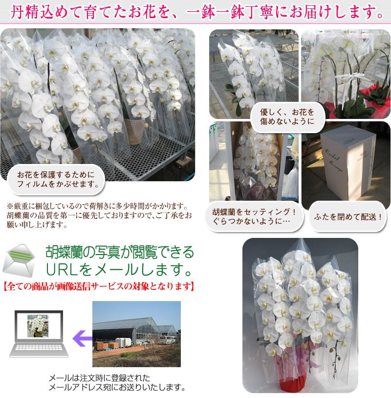 お送りした胡蝶蘭の写真をメールします。