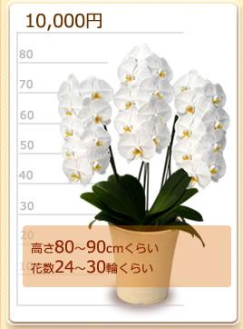 10000円の胡蝶蘭