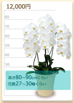 12000円の胡蝶蘭