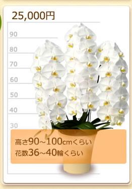 25000円の胡蝶蘭