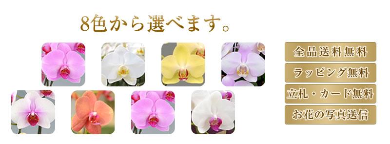 胡蝶蘭 8色から選べます