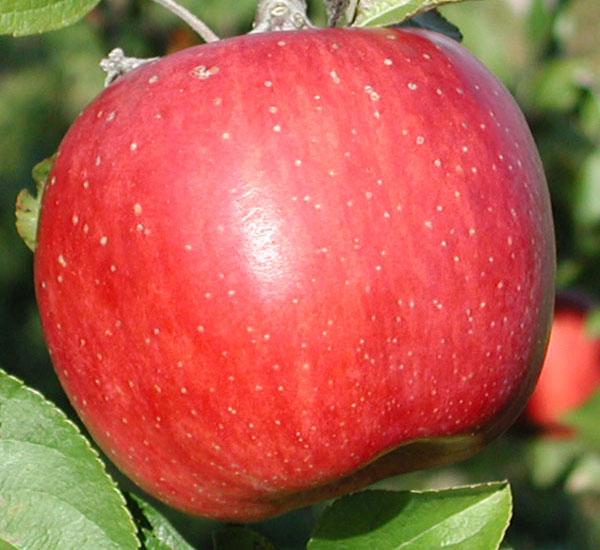 すべての折り紙 折り紙 りんご : ... りんご > 小野/無添加りんご