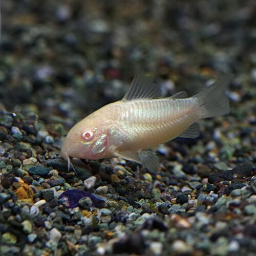 (熱帯魚)コリドラス