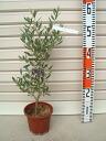 4 年生幼苗 8 盆栽橄榄树苗,常绿,树木.