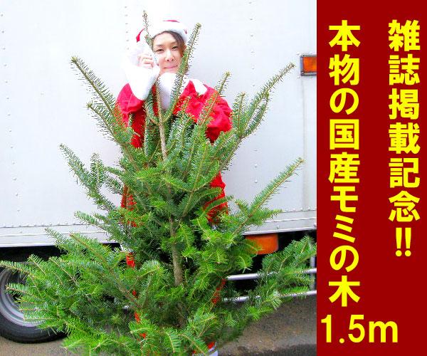モミの木 1.5M