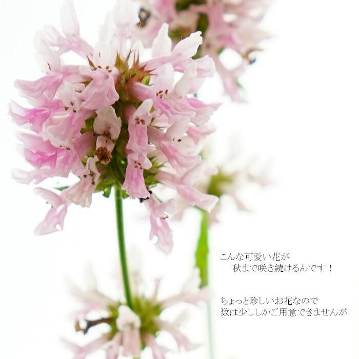 宿根草(大鉢仕立て)