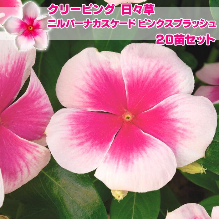 日々草(ニチニチソウ)