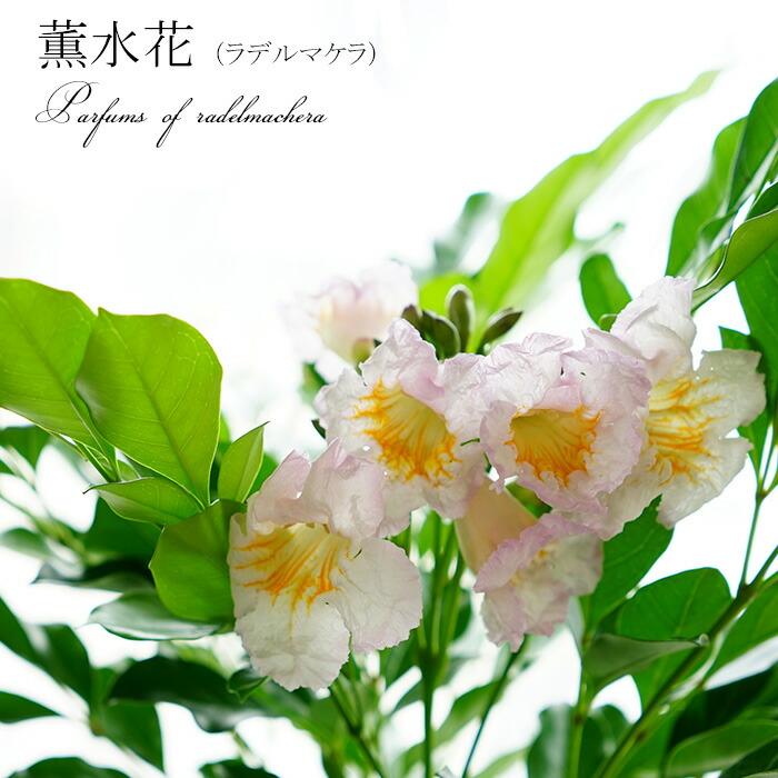 薫水花(ラデルマケラ)