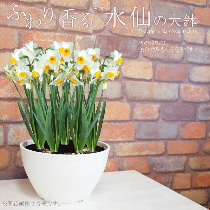 日本水仙(鉢植え)