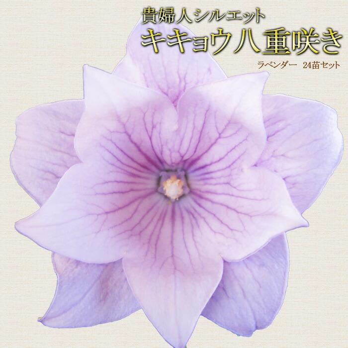 桔梗(八重咲きキキョウ)