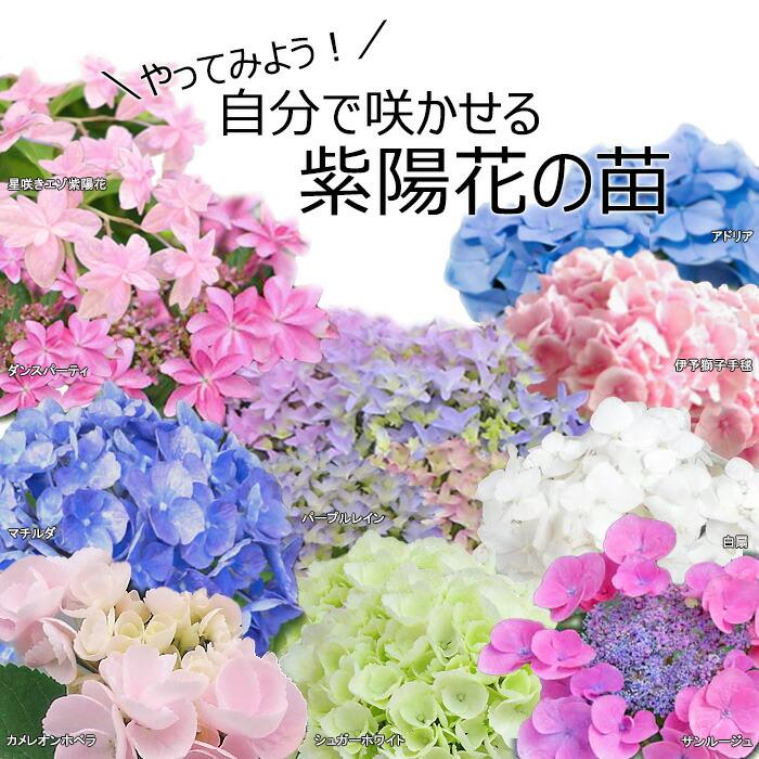 紫陽花(苗)