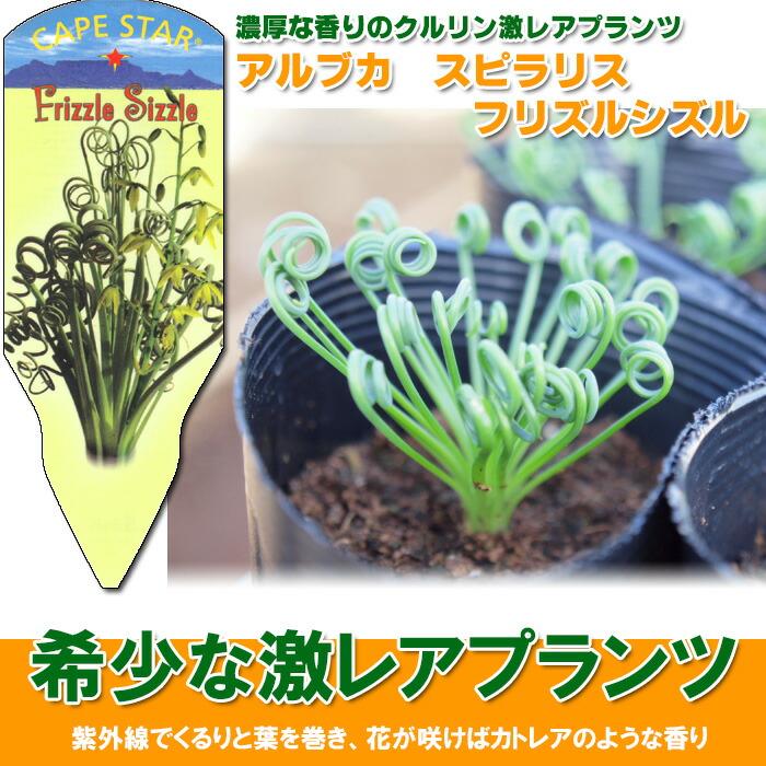 アルブカ スピラリス フリズルシズル albuca spiralis 'Frizzle Sizzle'