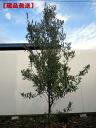 (特派团) 橄榄树高度 1.7 m (不包括树根)