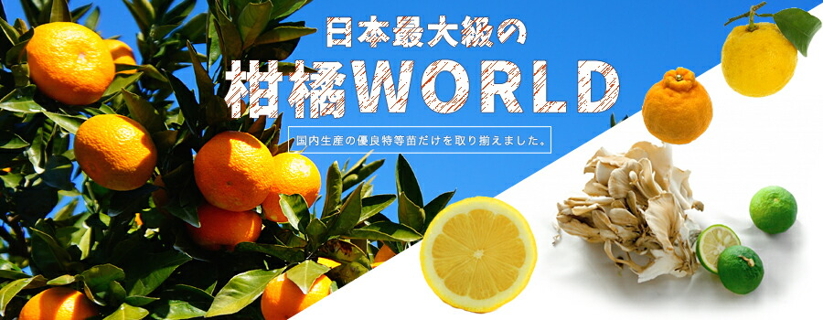 柑橘類 苗木