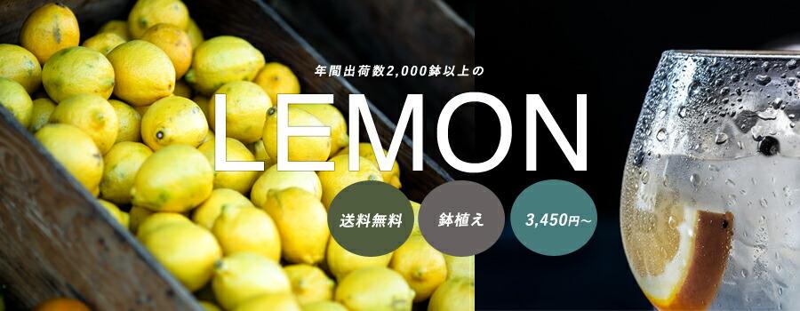 送料無料 レモン苗