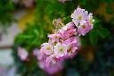 Roses climbing climbing rose rose vine ballerina ( CL) domestic plants long no. 8 pot onae roses pink rose seedlings