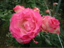 Roses climbing climbing rose rose vine the vine Strawberry ice ( CL) domestic seedlings long no. 8 onae perpetual double color robust rose seedlings