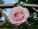 ブランピエールドゥロンサール ( big CL) domestic seedlings onae No. 6 pot white roses plants rose