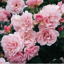 Felicia ( old rose) domestic seedlings onae 6 pot roses pink strong incense robust rose seedlings rose