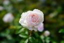 Humshoulou (powder cosmetic Tower) (old rose) domestic seedling grade new seedlings roses pink strong incense robust rose seedlings rose