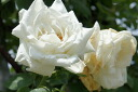 Seedling white healthy rose seedling rose rambler vine rose rose fresh for フラウカールドルシュキ (large flower CL) domestic production seedling one year to have cramped