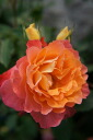 フリューテ (FL) domestic production seedling size seedling 6 pot perpetual orange rose seedling rose)
