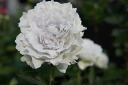 Gabriel ( komoto rose garden haven series) onae roses white strong incense rose seedlings rose