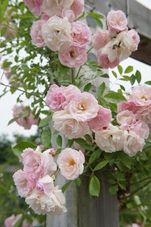 鹤的特征. 一季咲き,并且中车轮开花.玫瑰花盛开の可爱的花.