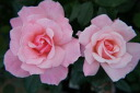 Queen Elizabeth ( HT) domestic seedlings onae 6 pot roses pink robust rose seedlings rose