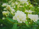 White モッコウバラ Yaesu ( old rose) white robust rose # 5 pot seedling roses