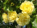 Eight folds (old rose) of yellow Rosa Banksiae yellow roses 5 pot seedling rose