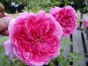 Roses climbing climbing rose rose vine parade ( CL) domestic seedlings onae 6 pot roses pink robust rose seedlings